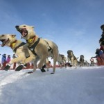 Fiedler's team charges down the trail during the re-start of the Iditarod dog sled race in Willow